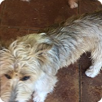 Terrier (Unknown Type, Small) Mix Dog for adoption in Blanchard, Oklahoma - Benji