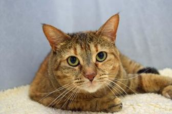 Domestic Shorthair/Domestic Shorthair Mix Cat for adoption in Greenfield, Indiana - Tessa