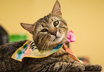 Domestic Shorthair Cat for adoption in Marina del Rey, California - James