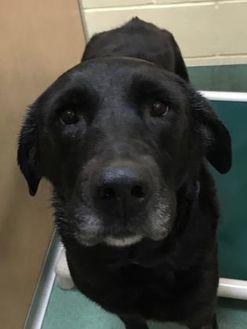 Labrador Retriever Mix Dog for adoption in Brooklyn, New York - Bailey
