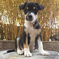 Adopt A Pet :: Cookies - San Diego, CA