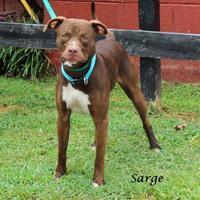 Adopt A Pet :: Sarge - Madisonville, TN