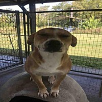 Adopt A Pet :: BUDDY - Rogers, AR