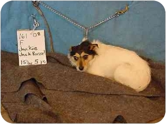 Jack Russell Terrier Dog for adoption in Zanesville, Ohio - Jackie/Pending
