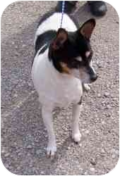 Rat Terrier Dog for adoption in Kokomo, Indiana - Patches