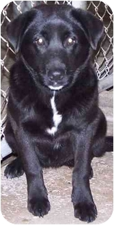 Labrador Retriever/Shiba Inu Mix Dog for adoption in Portsmouth, Rhode Island - Shirley