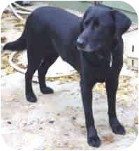 Labrador Retriever Mix Dog for adoption in Proctorville, Ohio, Ohio - A.J.