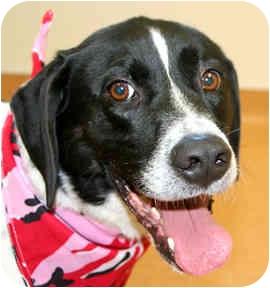 Hound (Unknown Type)/Pointer Mix Dog for adoption in Cincinnati, Ohio - Lighting