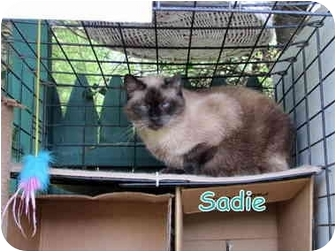 Siamese Cat for adoption in Floyd, Virginia - Sadie