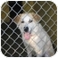 Photo 1 - Great Pyrenees/Setter (Unknown Type) Mix Dog for adoption in Portsmouth, Rhode Island - Jasper- pending