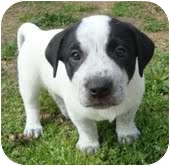 Boxer Mix Puppy for adoption in Portland, Maine - Bandit