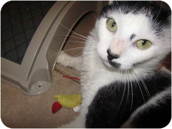 Domestic Shorthair Cat for adoption in Pascoag, Rhode Island - Lester