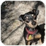 Photo 1 - Miniature Pinscher Dog for adoption in Tampa, Florida - Miles