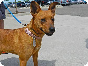 Feist Mix Dog for adoption in Birmingham, Michigan - Ginger