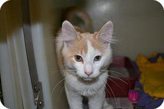 Domestic Mediumhair Kitten for adoption in Edwardsville, Illinois - Thing 2