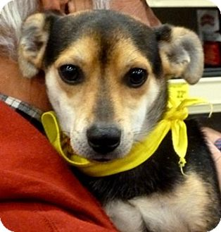 Jack Russell Terrier Mix Dog for adoption in Loudonville, New York - Ocono