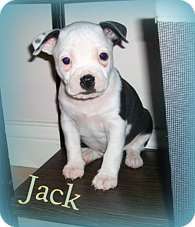 Boston Terrier/Pit Bull Terrier Mix Puppy for adoption in Evansville, Indiana - Jack