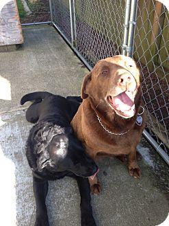 Labrador Retriever Dog for adoption in Tacoma, Washington - PRINCESS