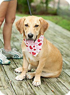 Labrador Retriever/Basset Hound Mix Dog for adoption in Portsmouth, Rhode Island - Honey-local!