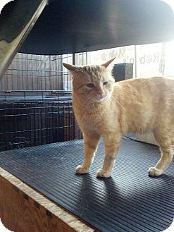 Domestic Shorthair Cat for adoption in Germantown, Ohio - Sameo Sampson