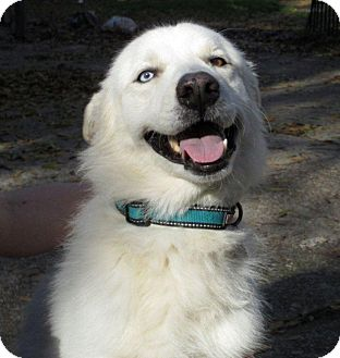 Husky/Great Pyrenees Mix Dog for adoption in Humble, Texas - Kane