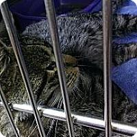 Adopt A Pet :: Prince - Pittstown, NJ