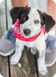 Cattle Dog/Border Collie Mix Puppy for adoption in Portsmouth, Rhode Island - Filbert
