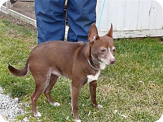Miniature Pinscher/Chihuahua Mix Dog for adoption in Liberty Center, Ohio - Gil