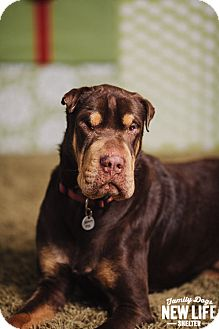 Shar Pei/Doberman Pinscher Mix Dog for adoption in Portland, Oregon - Samson