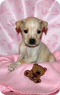 Labrador Retriever Mix Puppy for adoption in Green Cove Springs, Florida - Cloe
