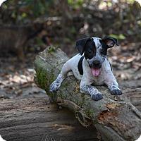 Adopt A Pet :: Rafa - South Dennis, MA