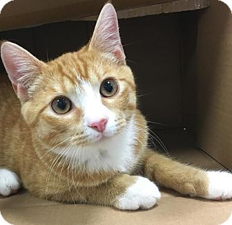 Domestic Shorthair Cat for adoption in St. Louis, Missouri - Arnold