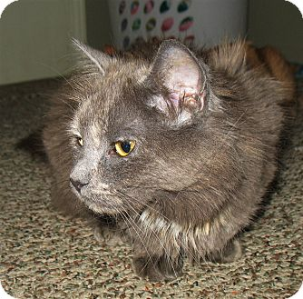 Domestic Longhair Cat for adoption in Queensbury, New York - Aphrodite