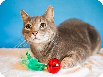Domestic Shorthair Cat for adoption in Houston, Texas - Ben