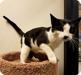 Domestic Shorthair Cat for adoption in Colonial Heights, Virginia - Monroe