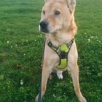 Adopt A Pet :: Stevie - Los Angeles, CA