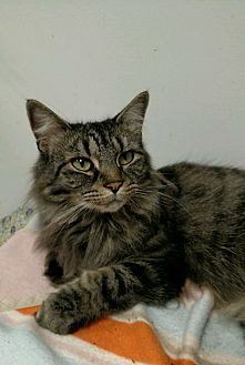 Maine Coon Cat for adoption in Walden, New York - Molly