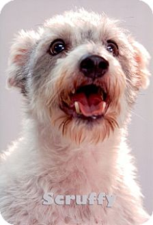 Jack Russell Terrier/Wirehaired Fox Terrier Mix Dog for adoption in Tacoma, Washington - Scruffy