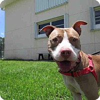 Pit Bull Terrier Dog for adoption in Vero Beach, Florida - TRIXIE