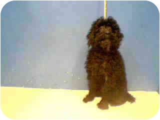 Poodle (Miniature) Dog for adoption in Westport, Connecticut - Baby Boy