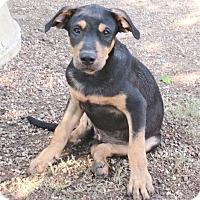 Terrier (Unknown Type, Medium)/Retriever (Unknown Type) Mix Puppy for adoption in Godley, Texas - Ranger
