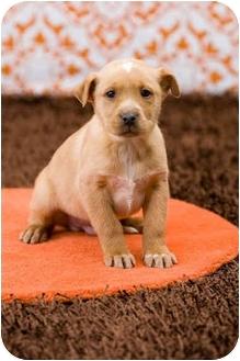 Labrador Retriever/Border Collie Mix Puppy for adoption in Portland, Oregon - Indiana