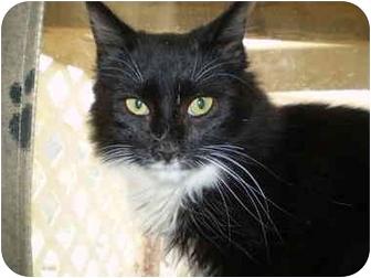Domestic Mediumhair Cat for adoption in San Ramon, California - Locke
