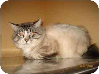 Siamese Cat for adoption in Libby, Montana - Blue Eyes