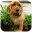 Photo 2 - Cocker Spaniel Dog for adoption in Sugarland, Texas - Joe Cocker