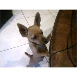 Chihuahua/Miniature Pinscher Mix Puppy for adoption in Pembroke pInes, Florida - Tillly