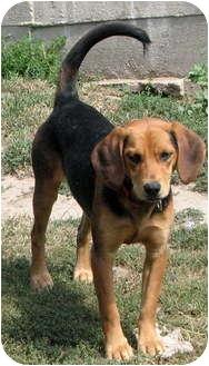 Beagle/Labrador Retriever Mix Puppy for adoption in Colville, Washington - Winnie