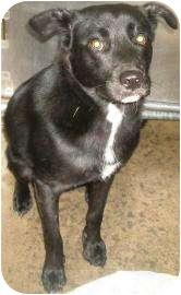 Labrador Retriever Mix Dog for adoption in Rapid City, South Dakota - Whisker Biscuit