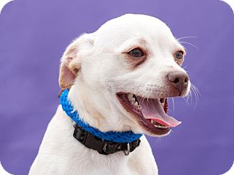 Pug/Chihuahua Mix Puppy for adoption in Poway, California - Bruno