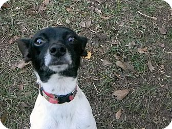 Rat Terrier Dog for adoption in Duluth, Georgia - Finola